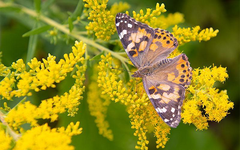 A painted lady butterfly is prepared for release during the ceremony.