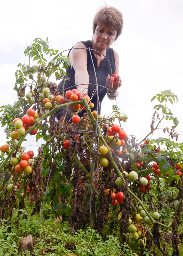 Toni Woerner picks tomatoes at the Giving Garden at St. Patrick Church in Victor Aug 29. (Courier Photo by John Haeger)