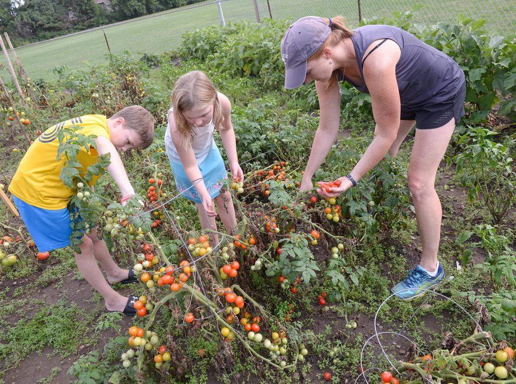 Adam, Anna and Gayle Reh harvest tomatoes at the Giving Garden at St. Patrick Church in Victor Aug 29. (Courier Photo by John Haeger)