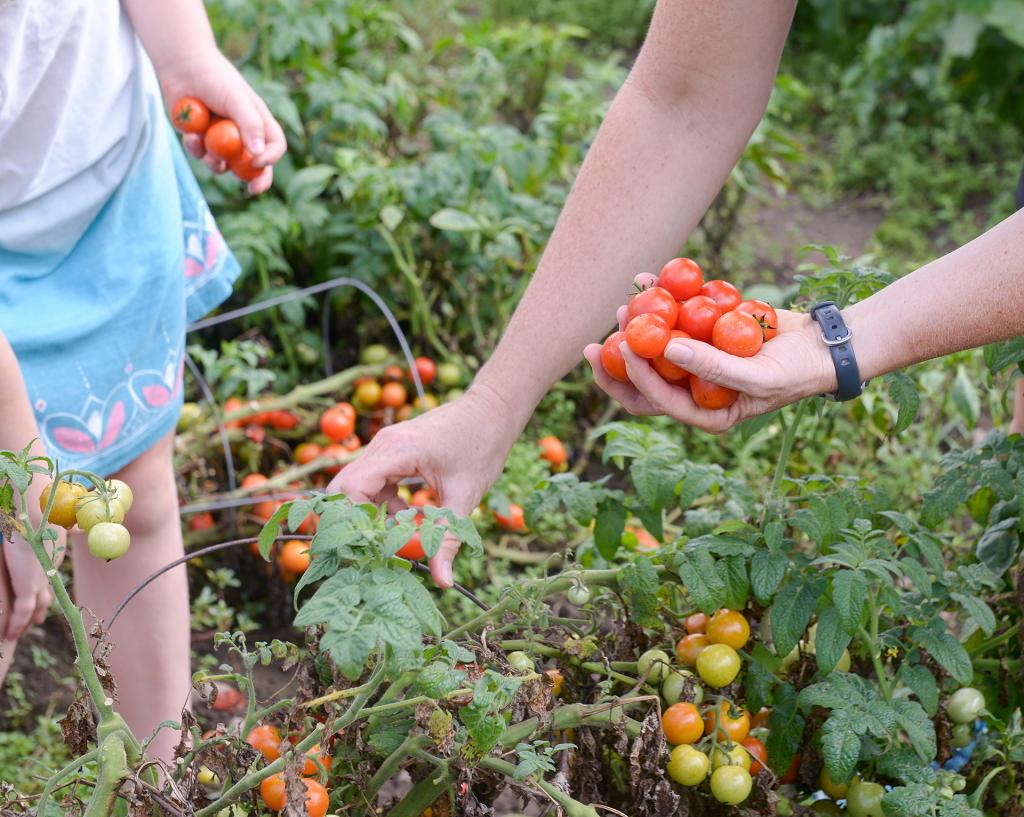 Anna and Gayle Reh pick tomatoes at the Giving Garden at St. Patrick Church Aug. 29. (Courier Photo by John Haeger)