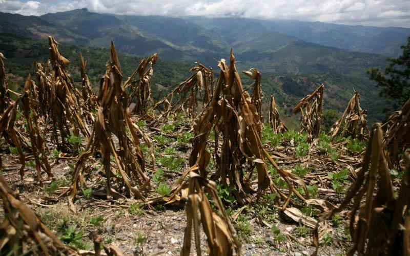 Corn is seen in Baja Verapaz, Guatemala, in this 2009 file photo. Three years of drought in Central America have destroyed crops of corn and beans, leaving families starving and causing Guatemala to declare a true state of emergency, said Catholic Relief Services officials. (CNS photo by Daniel Leclair, Reuters)