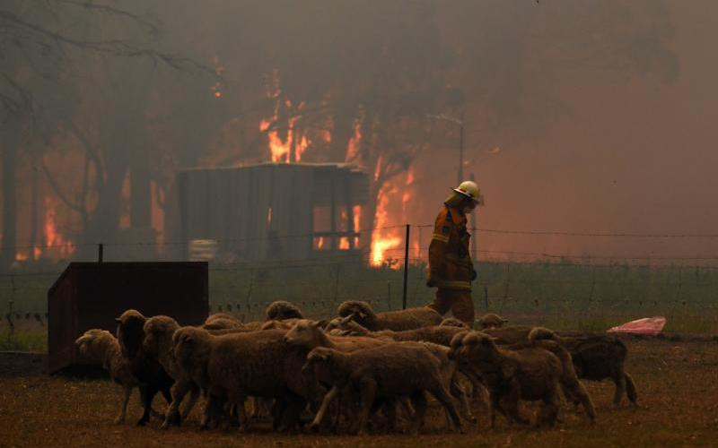 Sheep are seen as Rural Fire Service crews engage in property protection during wildfires along the Old Hume Highway near the town of Tahmoor, Australia, outside Sydney, Dec. 19, 2019