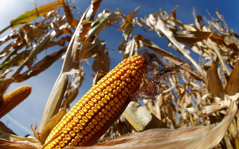 A cob of corn is seen in a field during the harvest in Minooka, Ill., in this illustration photo.