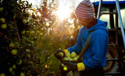 Raúl Durán, a migrant worker for Heberle Farms, picks Golden Delicious apples just after sunrise Oct. 8.