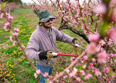 <p>Farmworker Luis Gutierrez, 26, of Colima, Mexico, trims a peach tree on Kalir Enterprises farm May 10, 2018, in Brockport. (Courier file photo) </p>