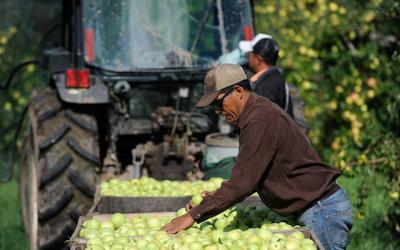 <p>Migrant farmworkers pick apples on a farm in Brockport in 2013. The Diocese of Rochester&rsquo;s Department of Pastoral Services is sponsoring a drive-thru food and supply collection June 13 to assist migrant farmworkers in need. (File photo)  </p>