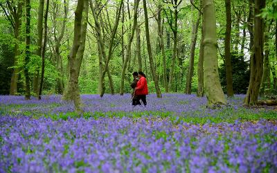 People in London walk among bluebells in the Epping Forest April 18, 2020.