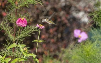 """A hummingbird is seen getting nectar from a flower Sept. 28, 2019, in a garden on the grounds of St. Anthony of Padua friary in Butler, N.J. In one of his most famous essays, """"Joyas Voladoras,"""" Brian Doyle ponders the glory of a hummingbird; those """"flying jewels"""" whose heart is the """"size of a pencil eraser"""" and beats 10 times a second. (CNS photo by Octavio Duran)"""