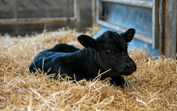 A calf A calf is seen at Noblehurst Farms in Livingston County May 12. The farm is one of many businesses benefiting from New York state's Nourish New York initiative. (Courier file photo)